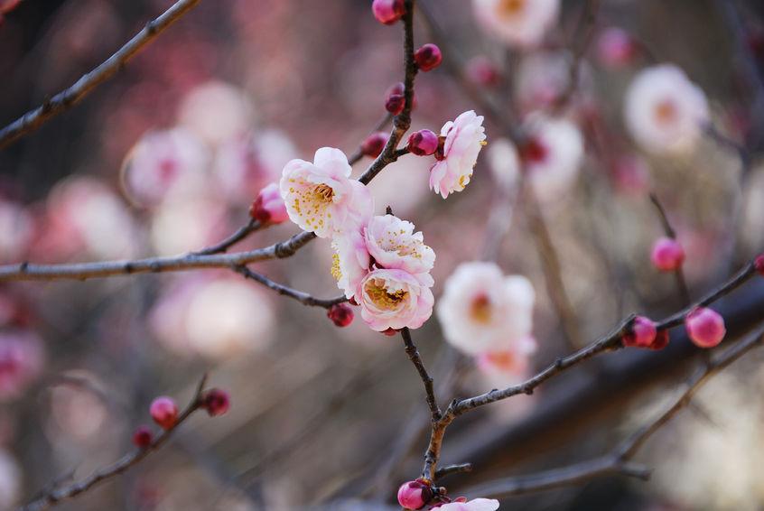 40449559 - plum blossom