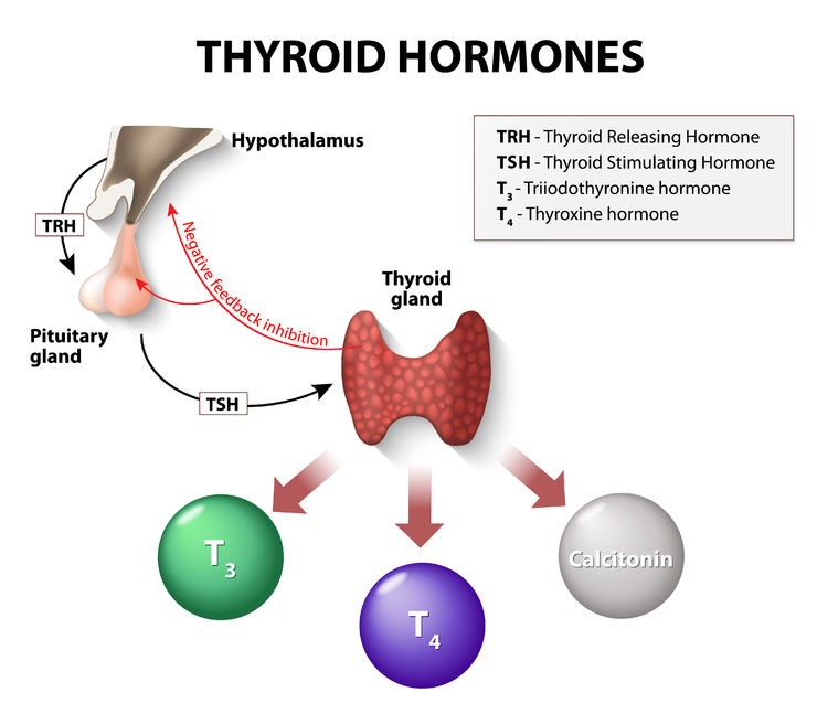 44721853 - thyroid hormones. human endocrine system.
