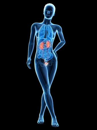 26686472 - medical 3d illustration - female anatomy - urinary system