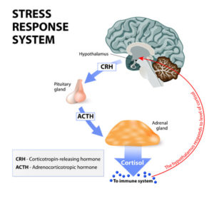 44315542 - stress response system. stress is a main cause of high levels of cortisol secretion. cortisol is a hormone produced by the adrenal cortex.